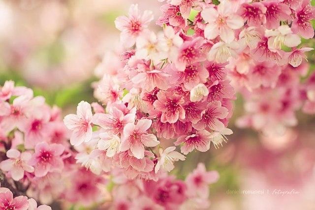 hình ảnh về hoa mai anh đào