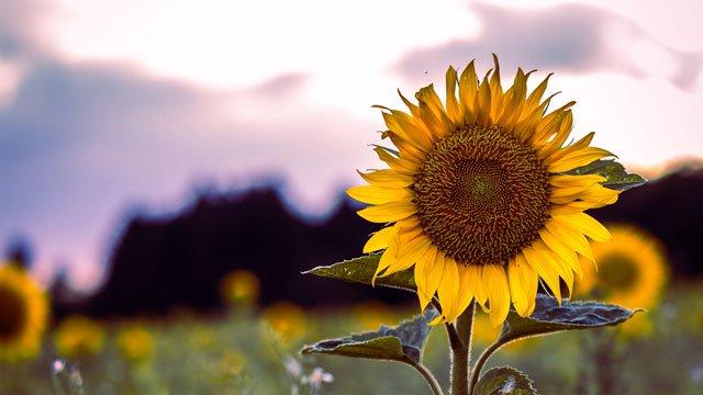 hình ảnh đồi hoa hướng dương ở nghệ an