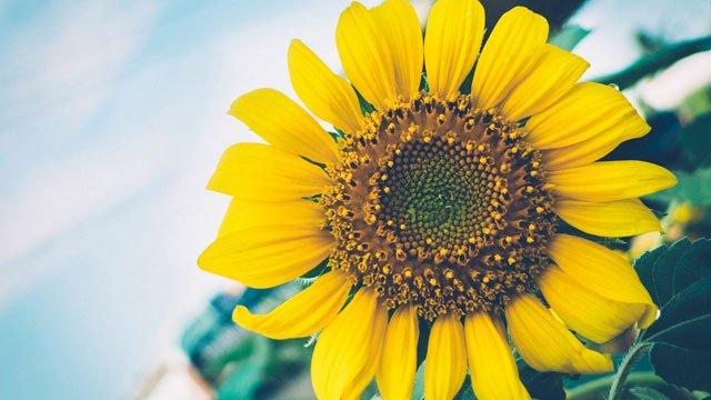 hình ảnh hoa hướng dương 3d