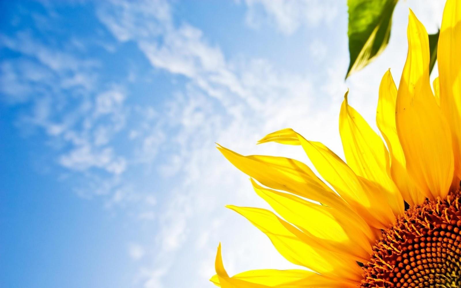 ảnh hoa hướng dương hd