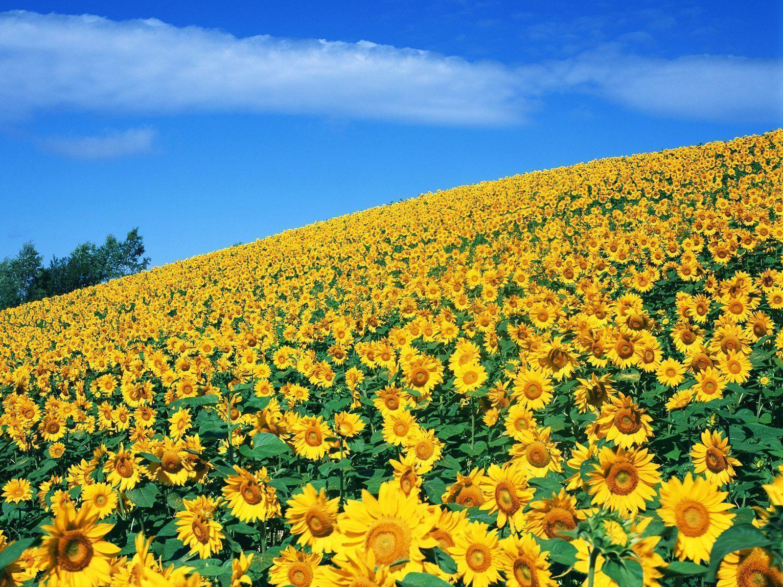 chia sẻ ảnh hoa hướng dương