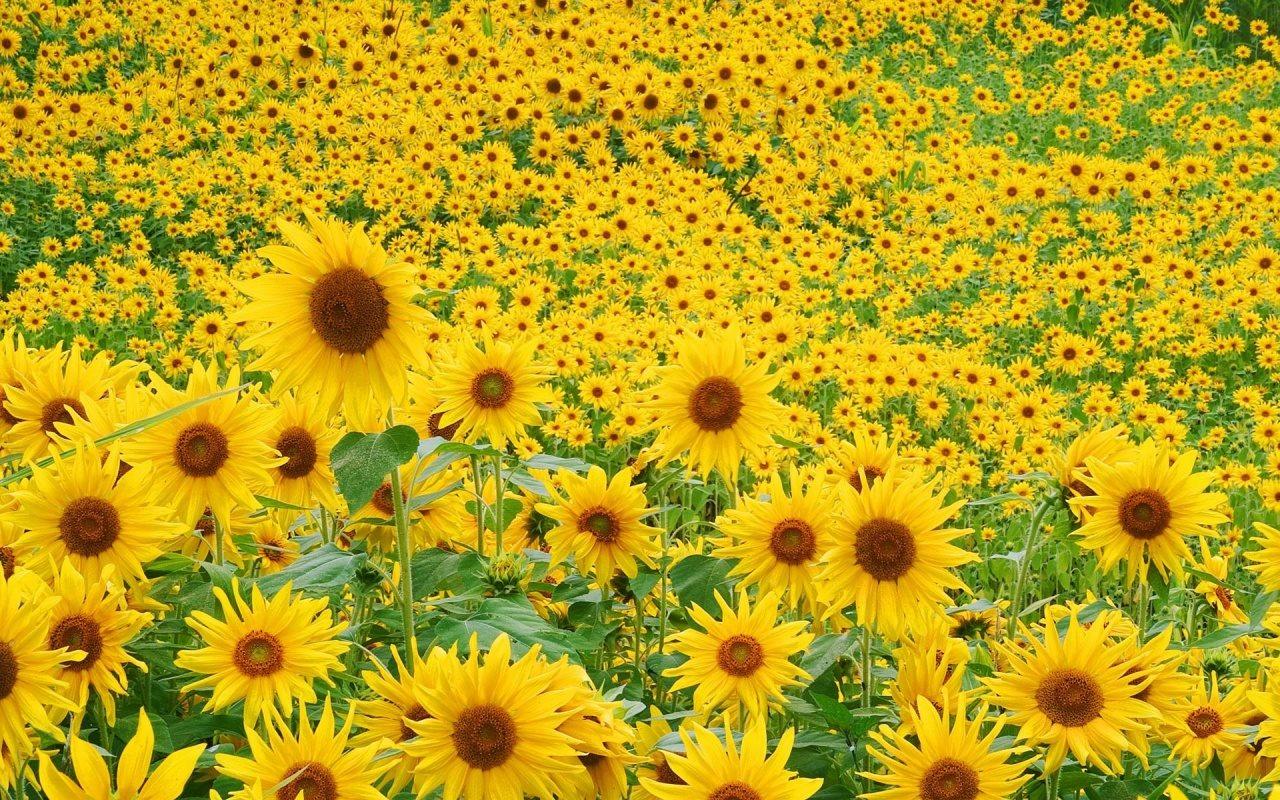 hình nền hoa hướng dương dep