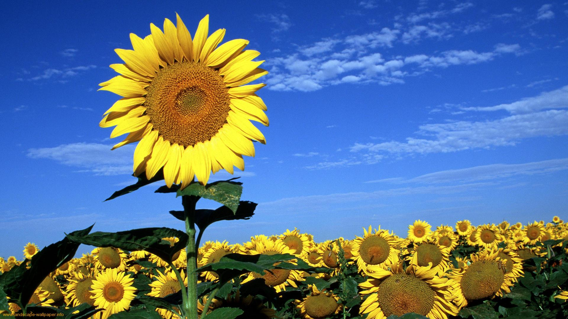 chụp ảnh kỷ yếu với hoa hướng dương