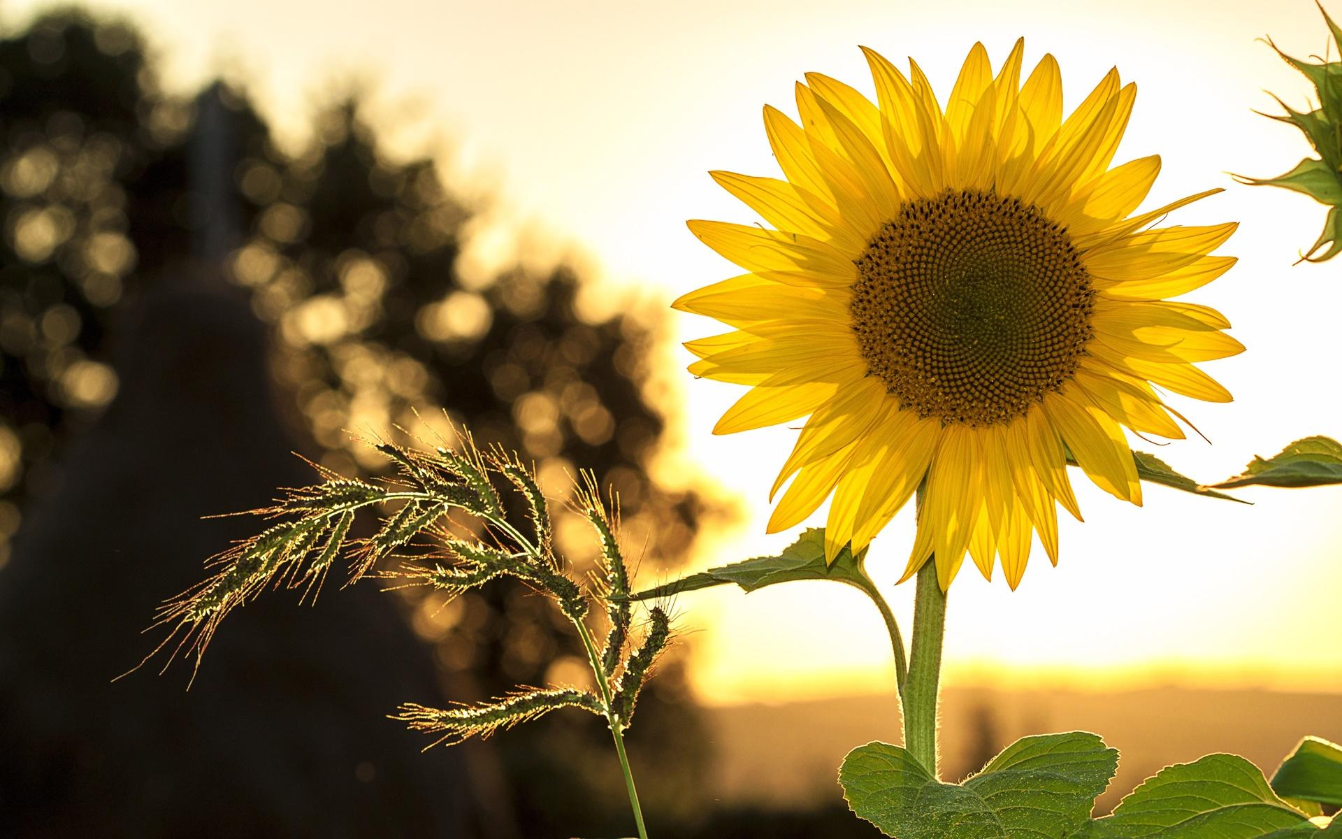 ghép ảnh với hoa hướng dương