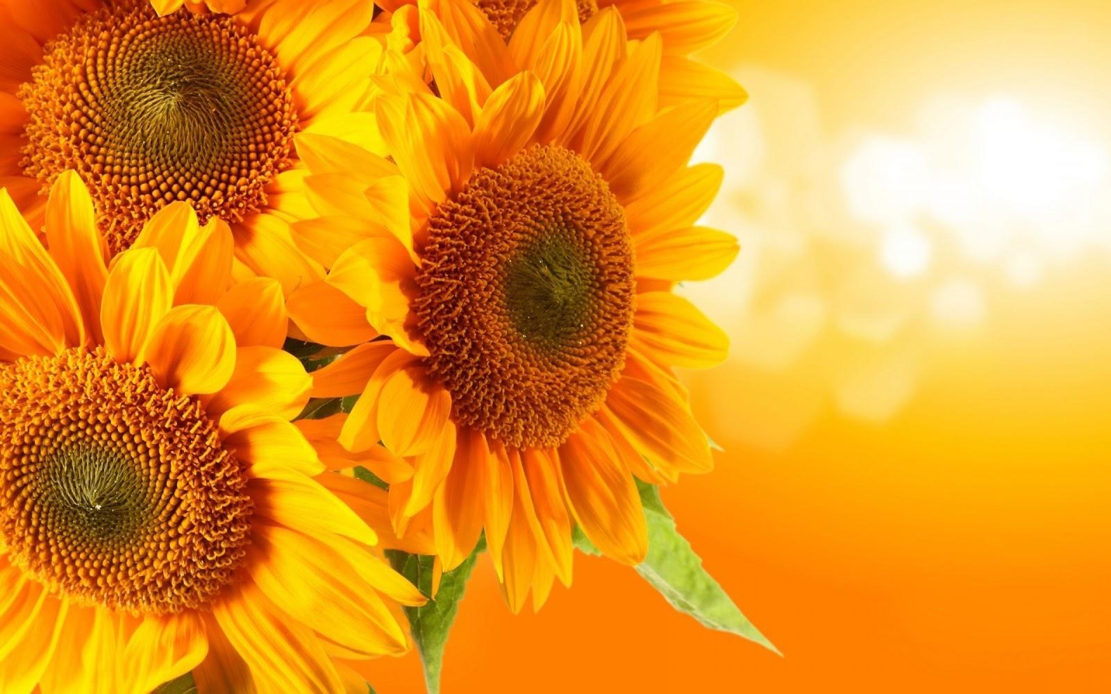trang phục chụp ảnh với hoa hướng dương