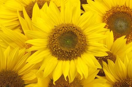 chụp ảnh hoa hướng dương nên mặc gì