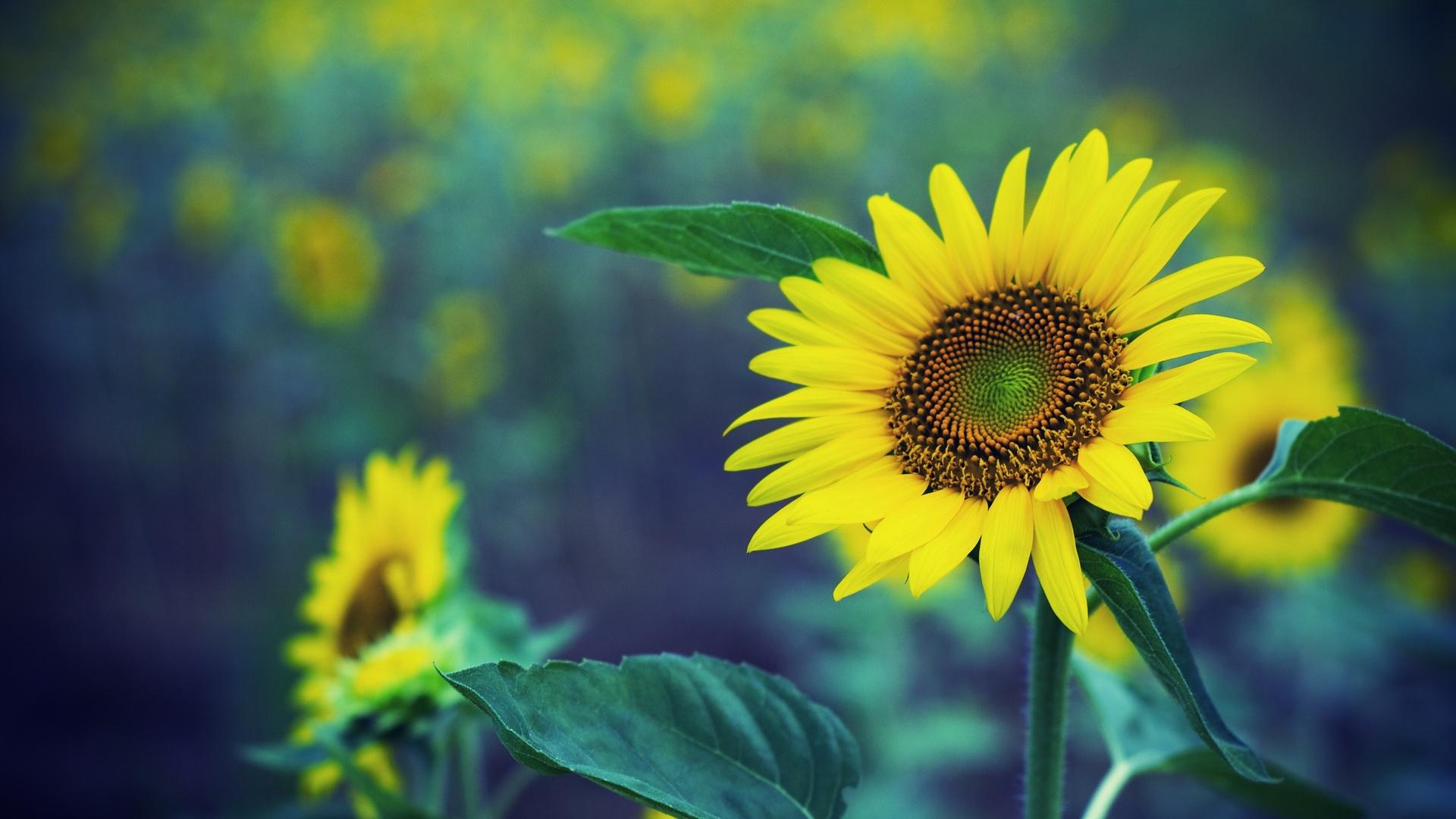 hình ảnh lọ hoa hướng dương