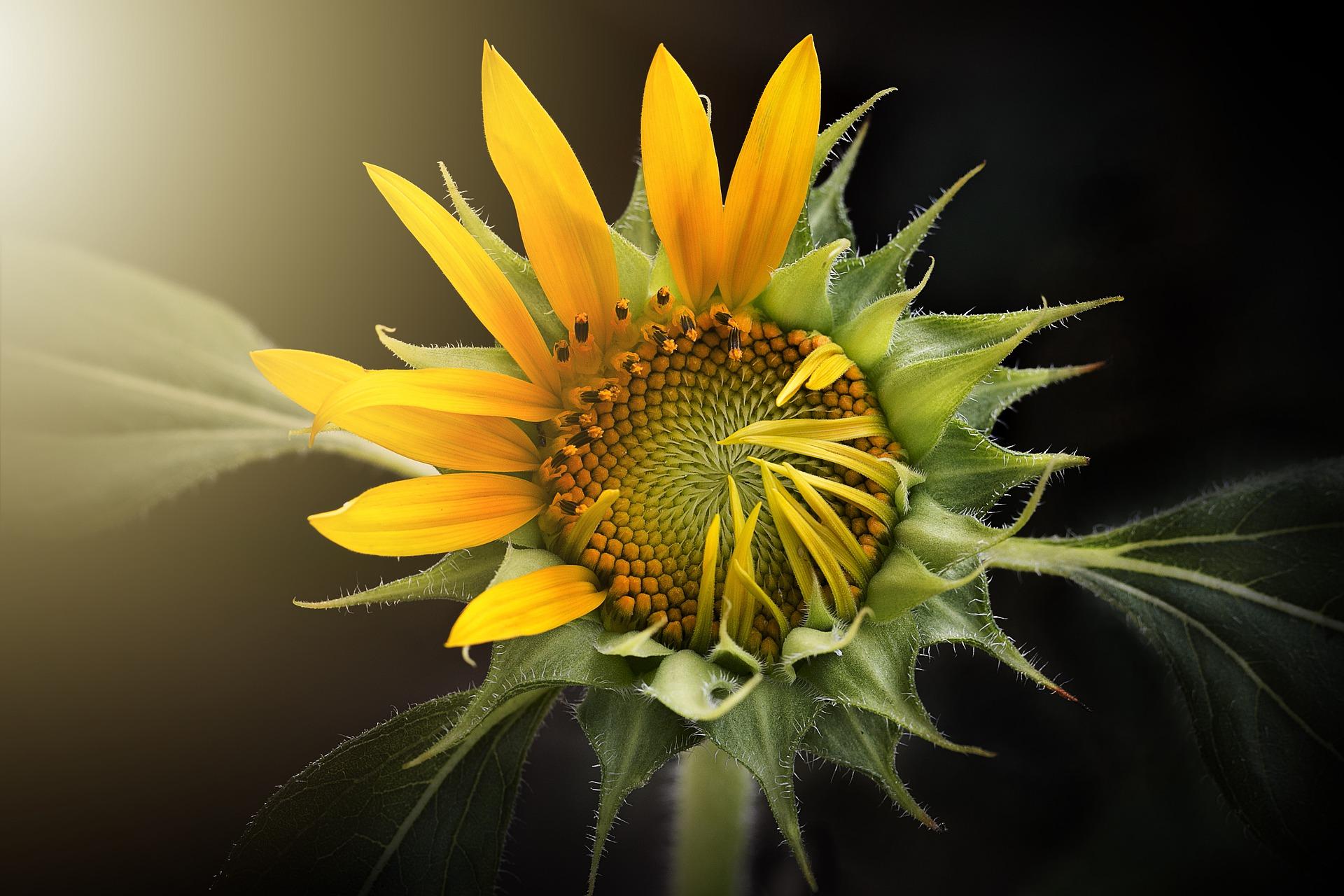 ảnh hoa hướng dương buồn