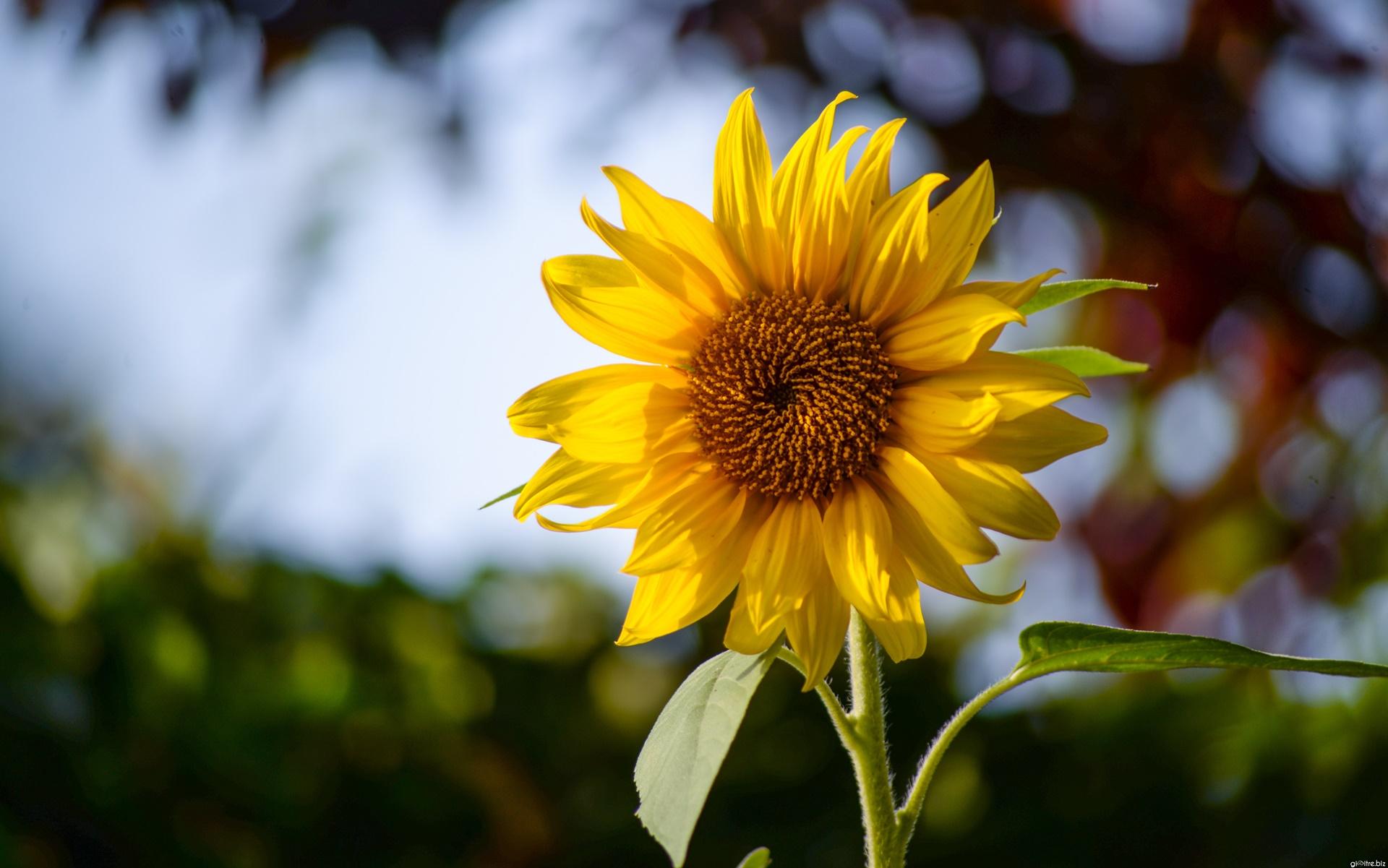 các kiểu chụp ảnh với hoa hướng dương