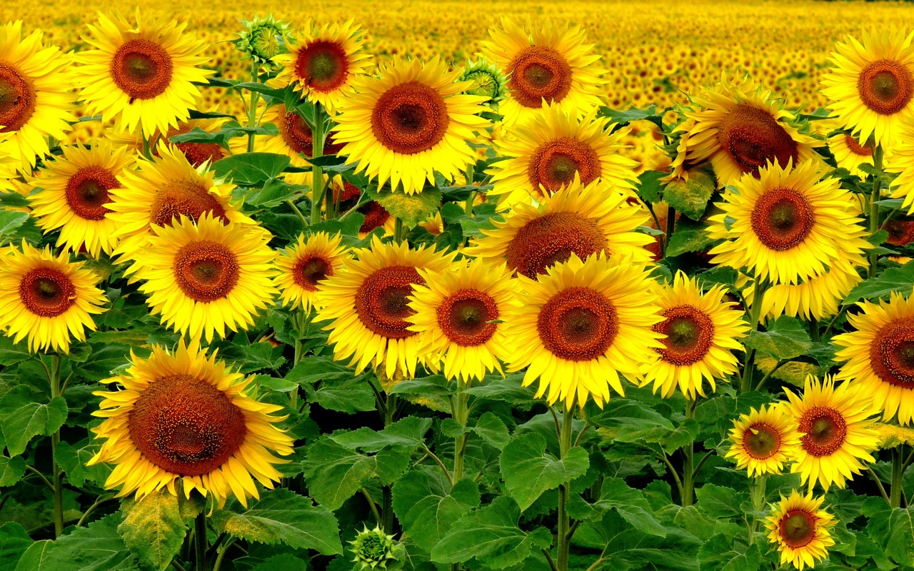 phong cảnh hoa hướng dương