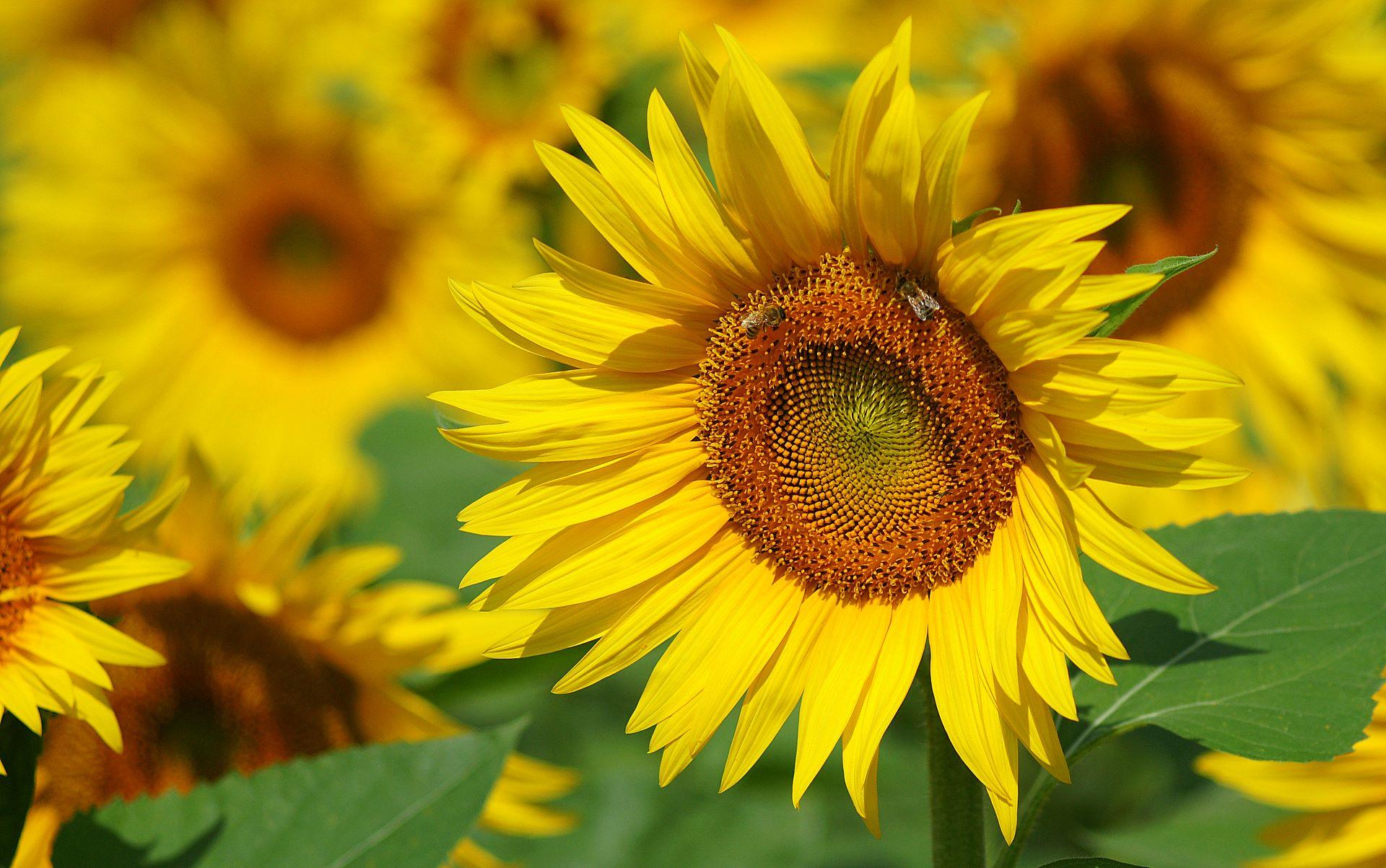 ảnh hoa hướng dương pinterest
