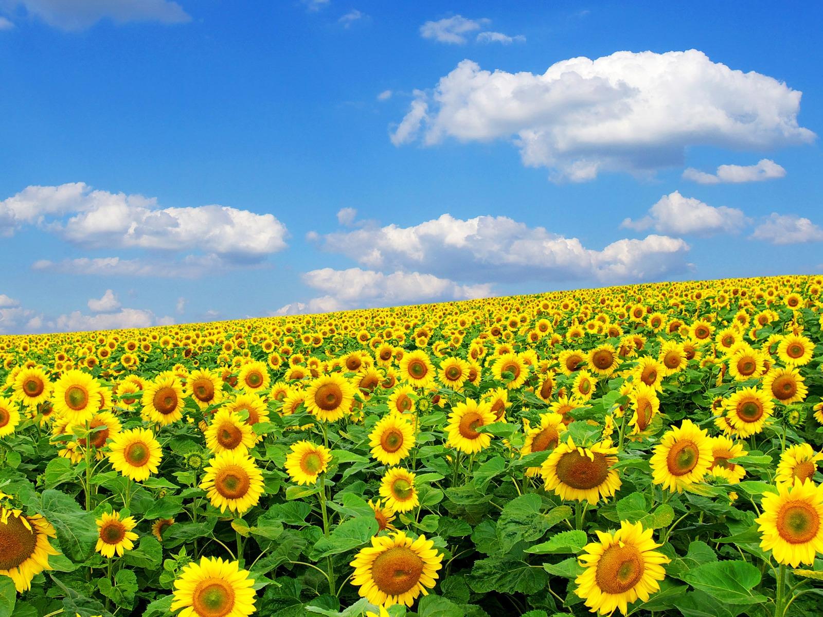 xem ảnh vườn hoa hướng dương