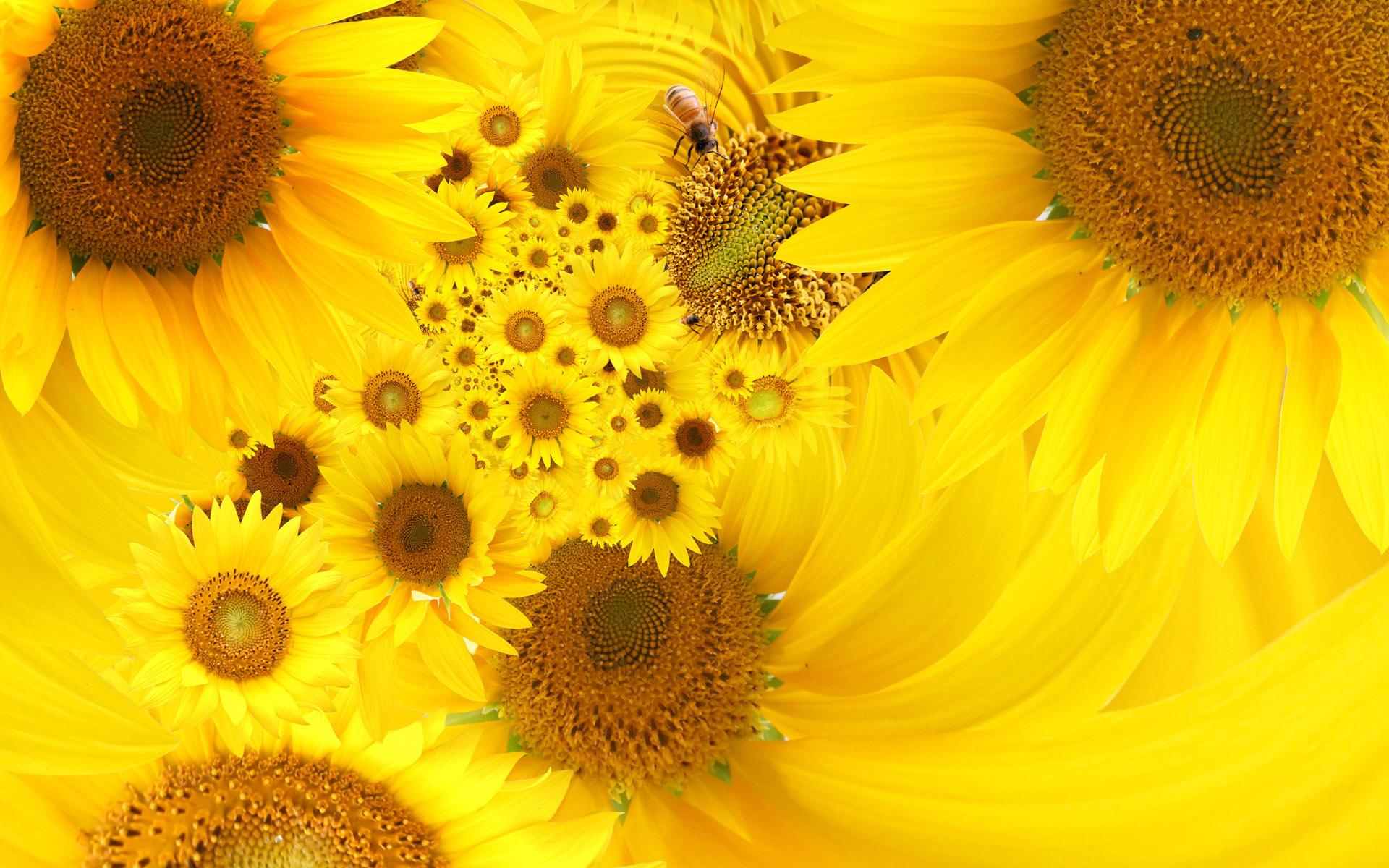 hình ảnh hoa hướng dương bằng bút chì