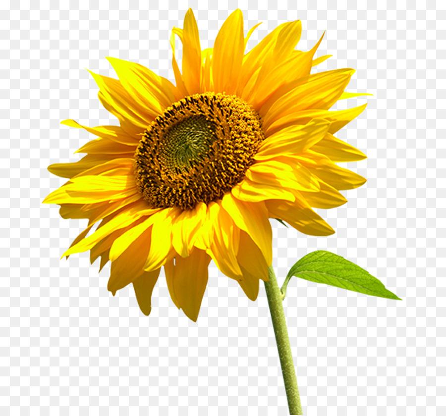 ghép ảnh hoa hướng dương