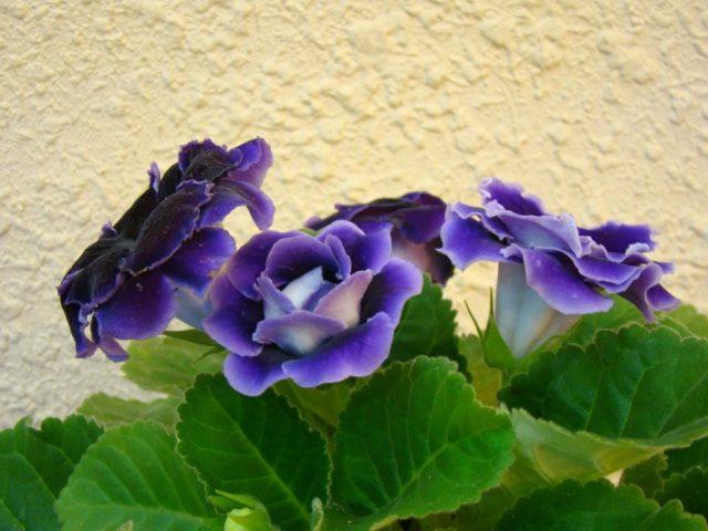 pha màu tím hoa cà