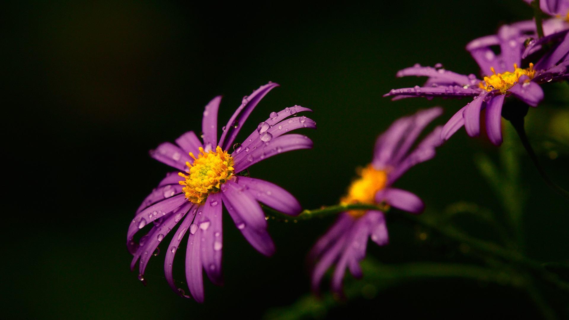 hoa phượng màu tím
