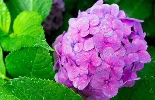 hoa màu tím ngày tết