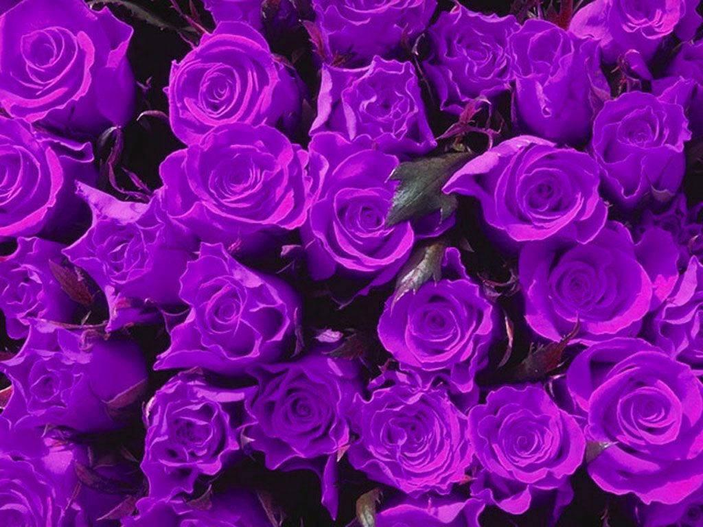 màu tím hoa mua