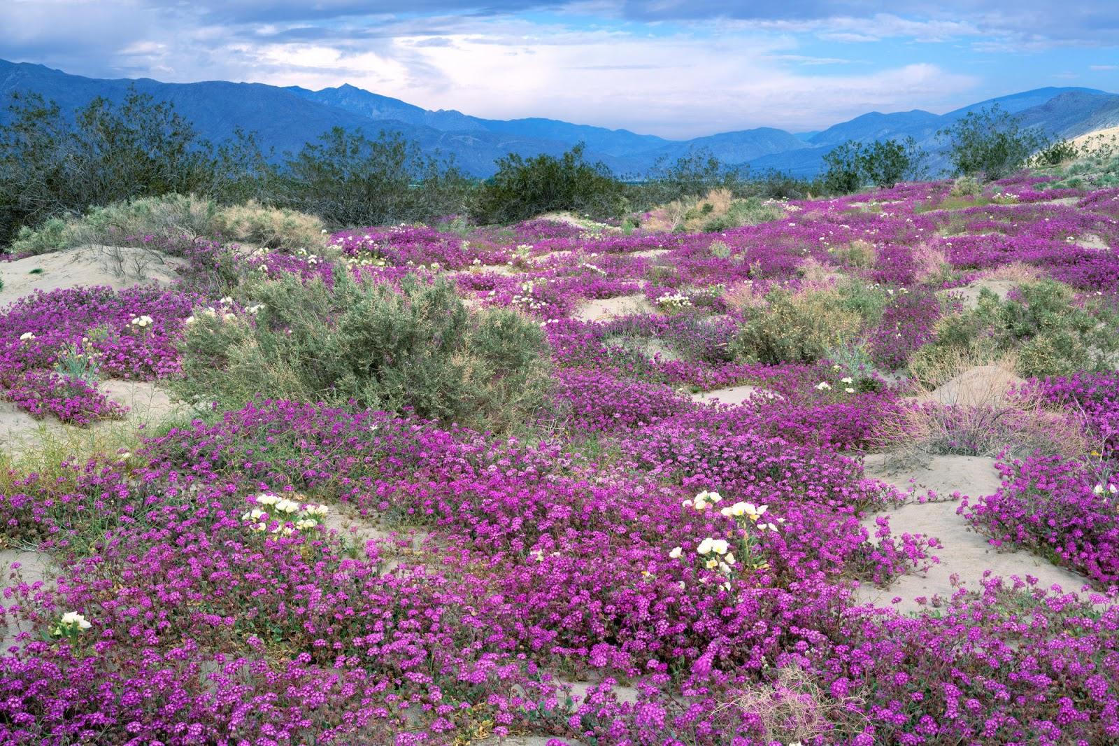ý nghĩa của loài hoa màu tím