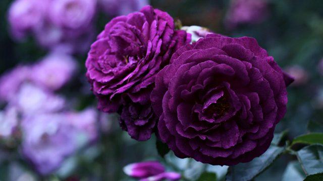 hoa hồng màu tím ruốc