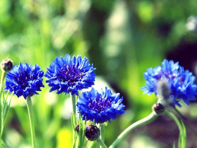 màu tím hoa sim 3