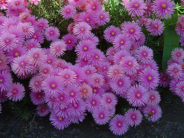 ý nghĩa bông hoa màu tím