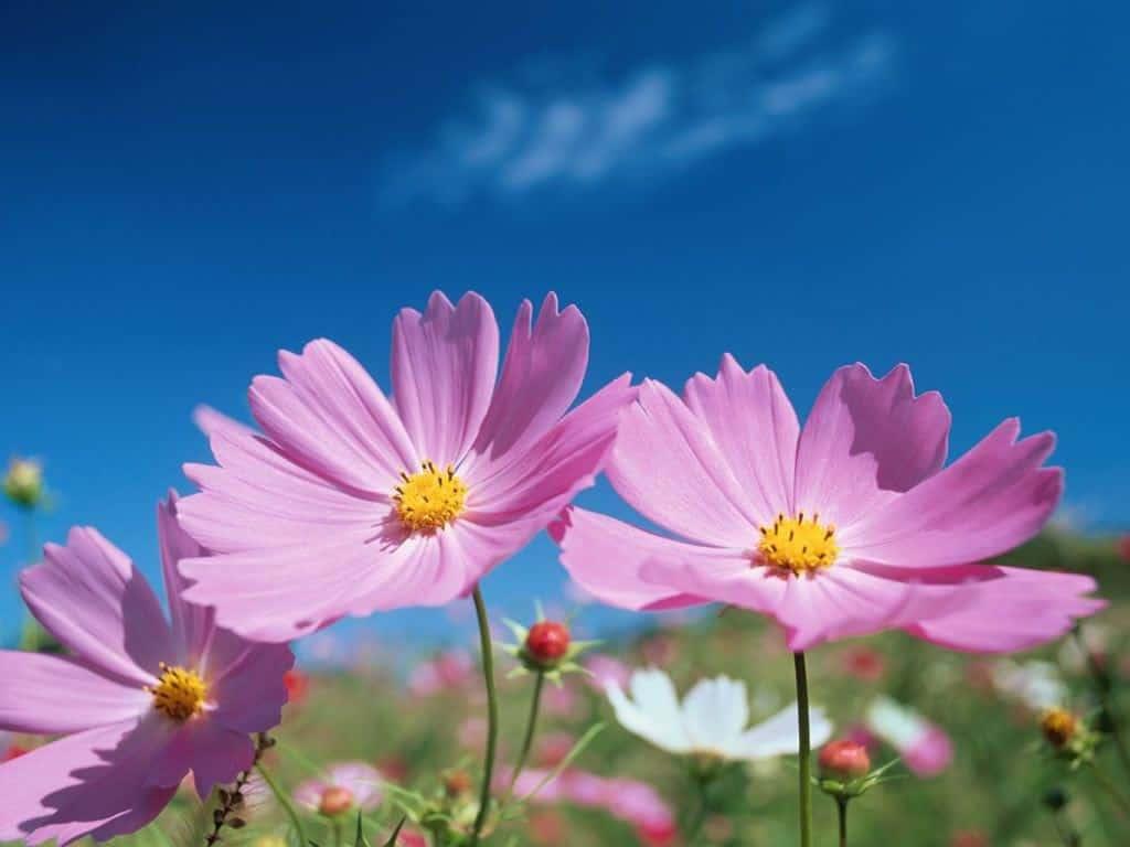 hoa quỳnh anh màu tím