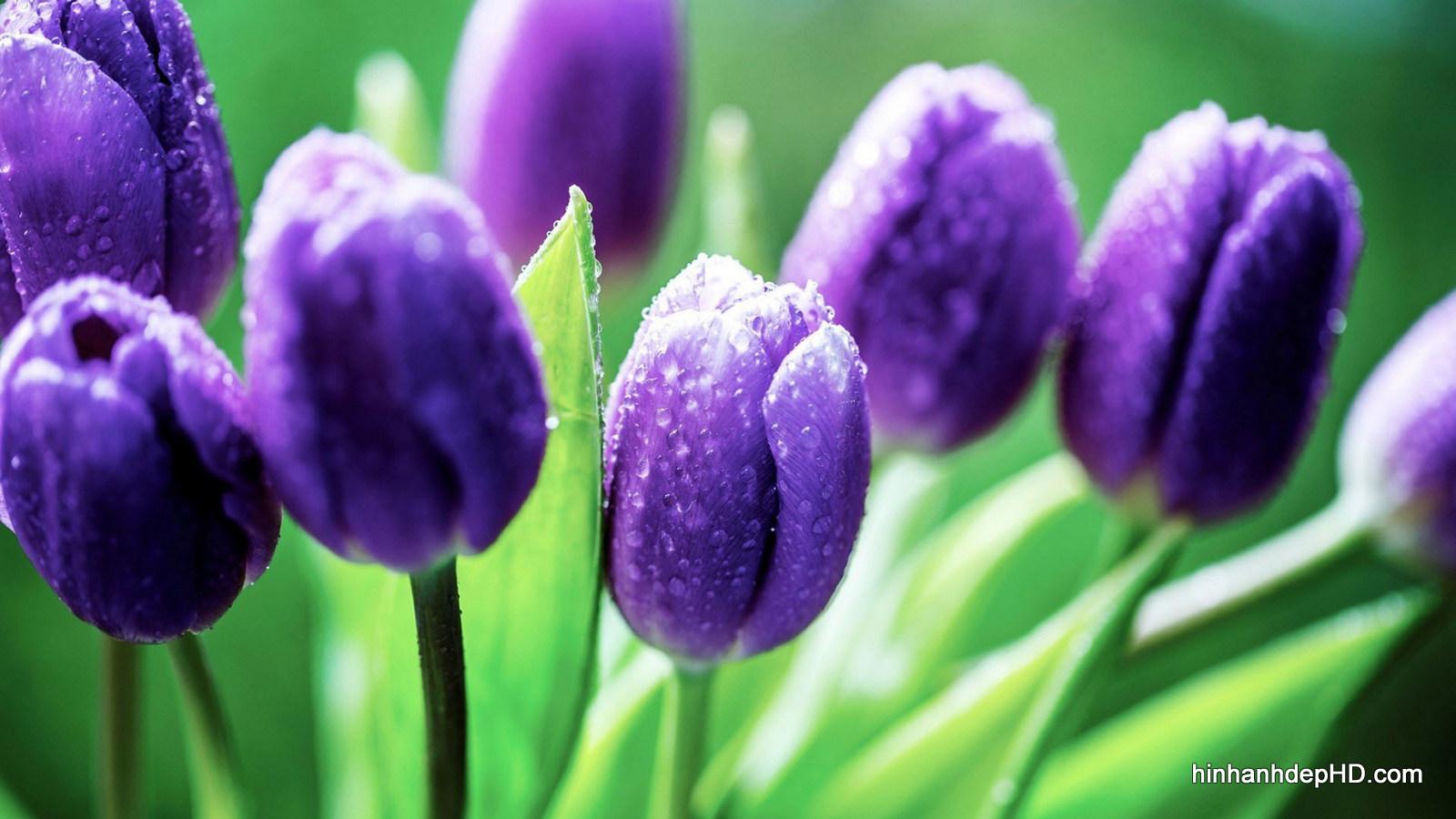 hoa 4 cánh màu tím