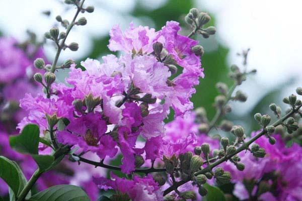 ý nghĩa hoa màu tím