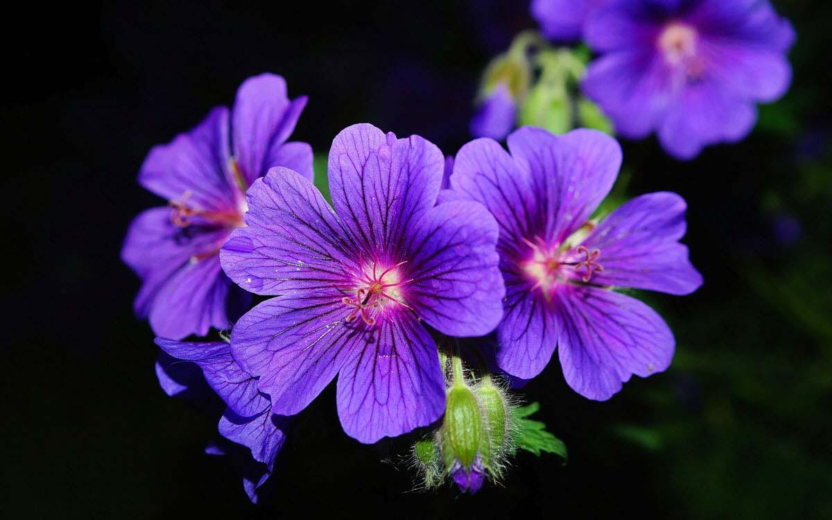 hoa màu tím huế