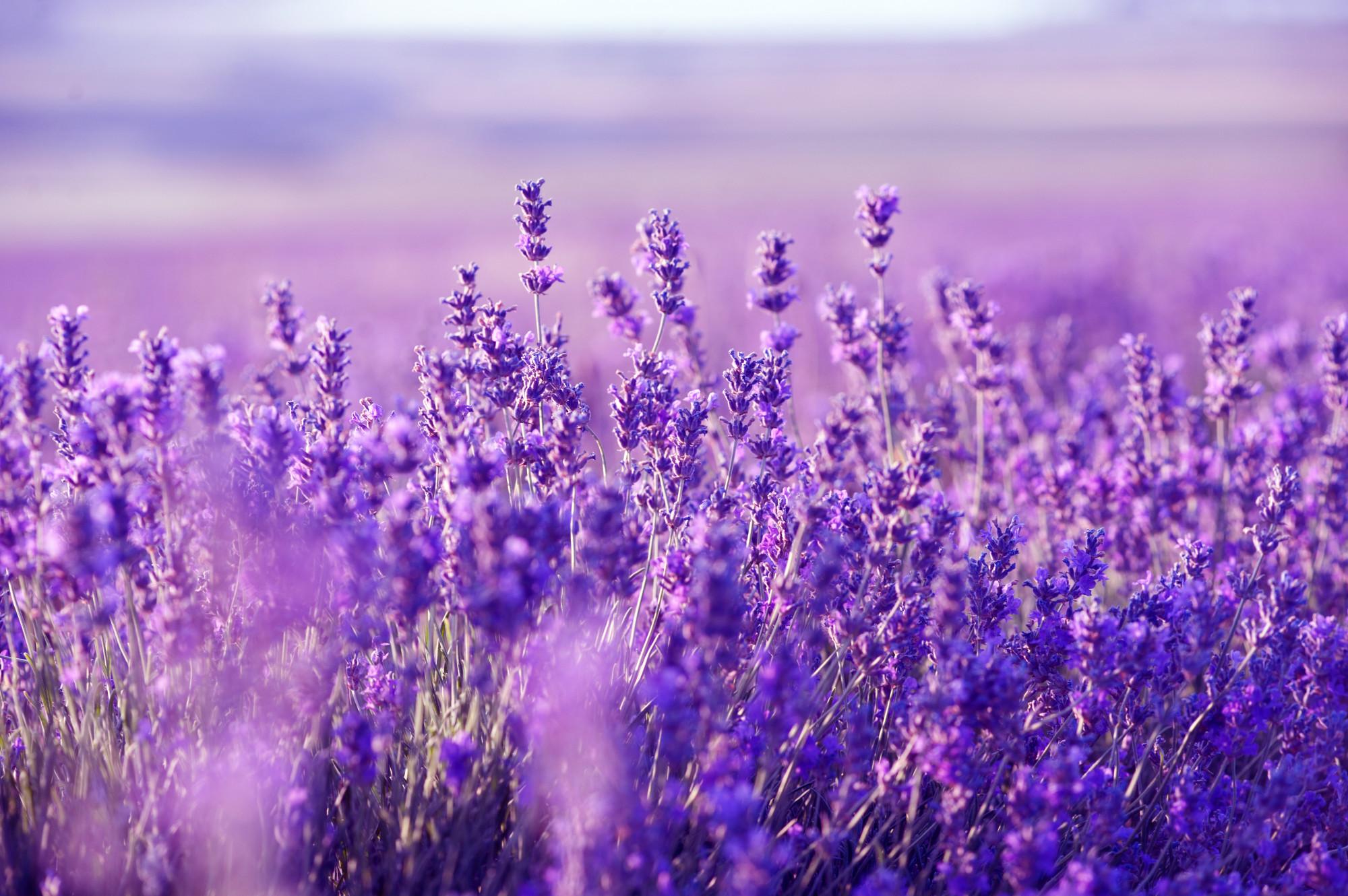 hinh anh hoa màu tím