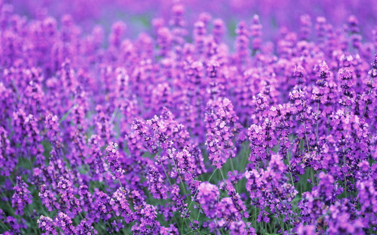 hoa bồ công anh màu tím