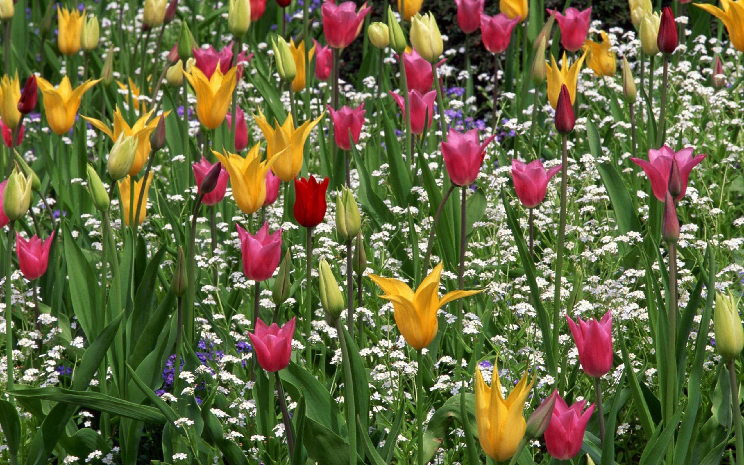 hình nền hoa tulip cho máy tính