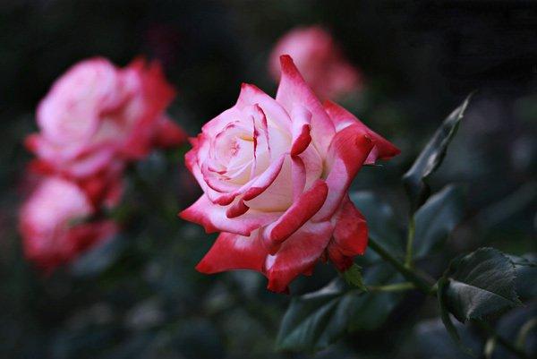 hình nền hoa hồng lãng mạn
