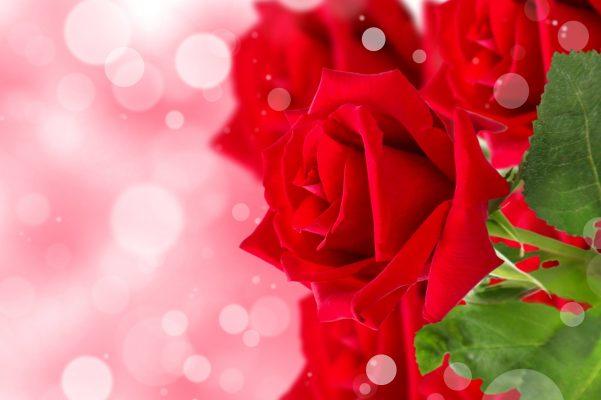 hình nền hoa hồng xanh đẹp
