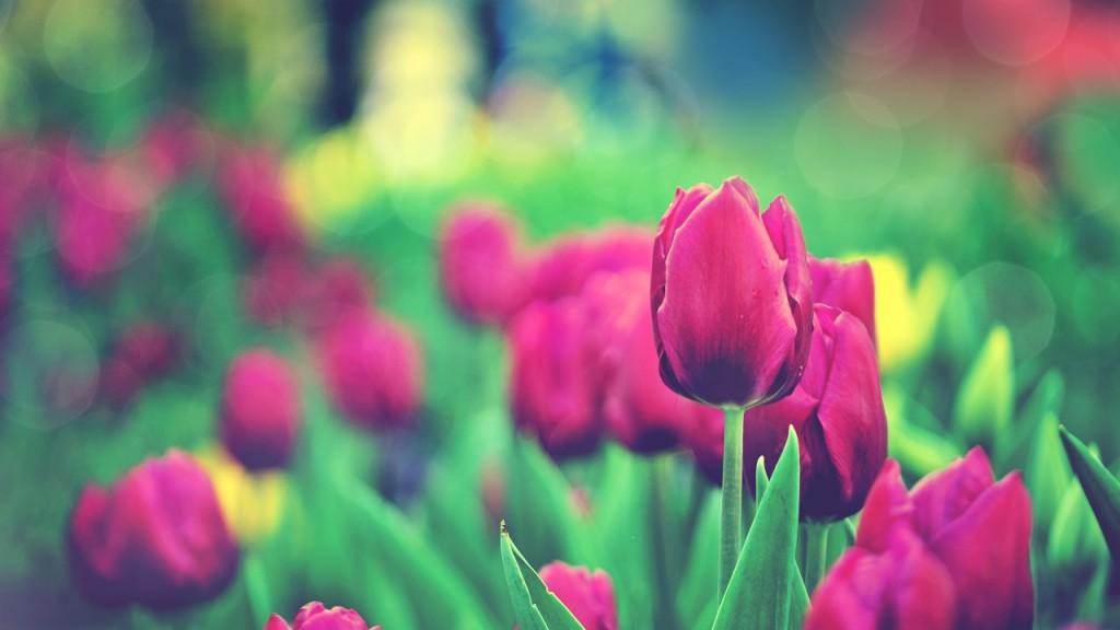 hình nền hoa hồng nhung đỏ