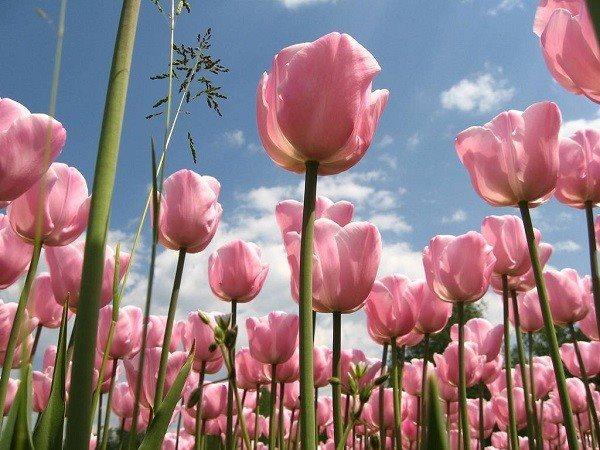 hình nền hoa tulip đỏ