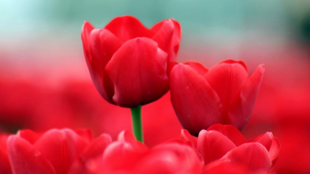hình nền hoa hồng cực chất