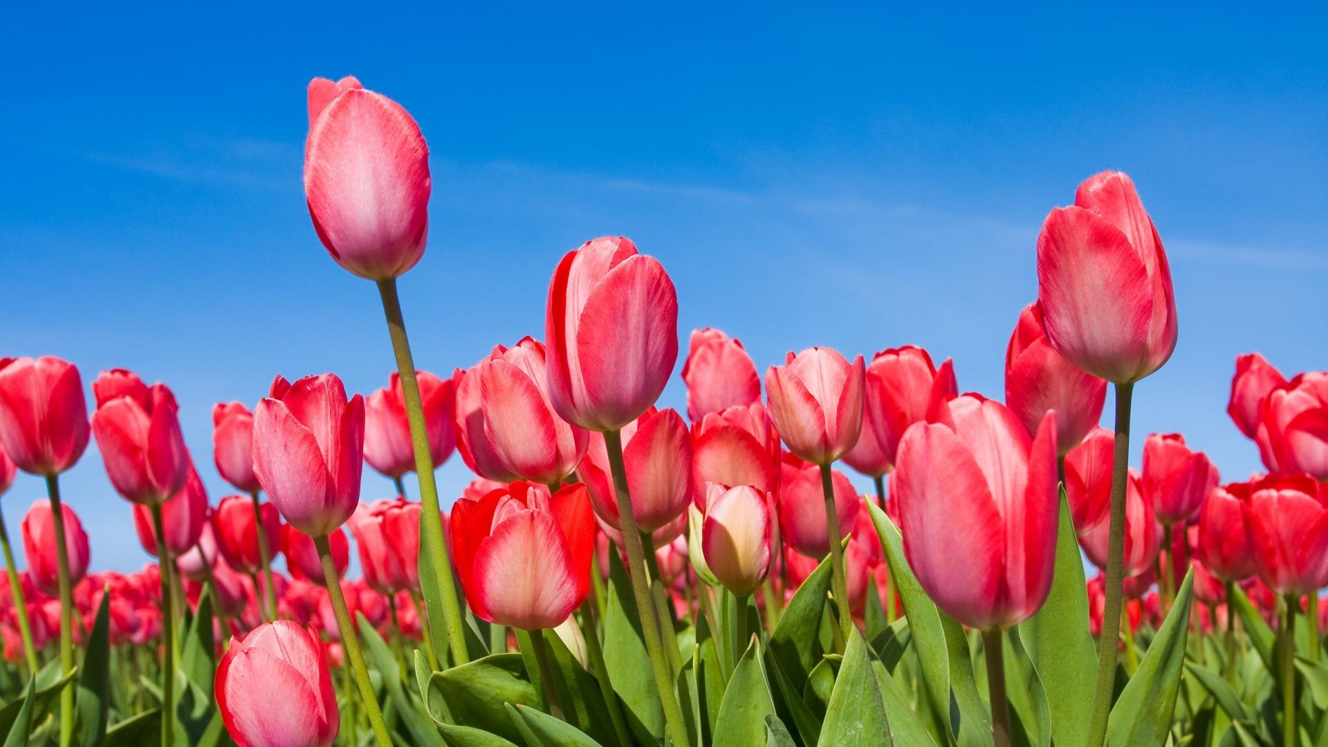 hình nền hoa hồng trên facebook