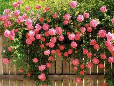 hình nền hoa hồng leo