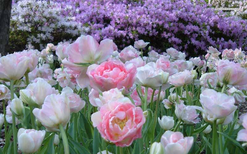hình nền hoa tulip vàng