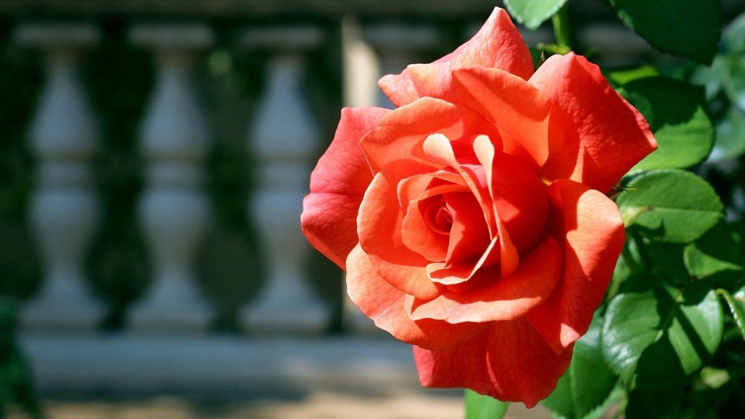 hình nền điện thoại hoa hồng xanh