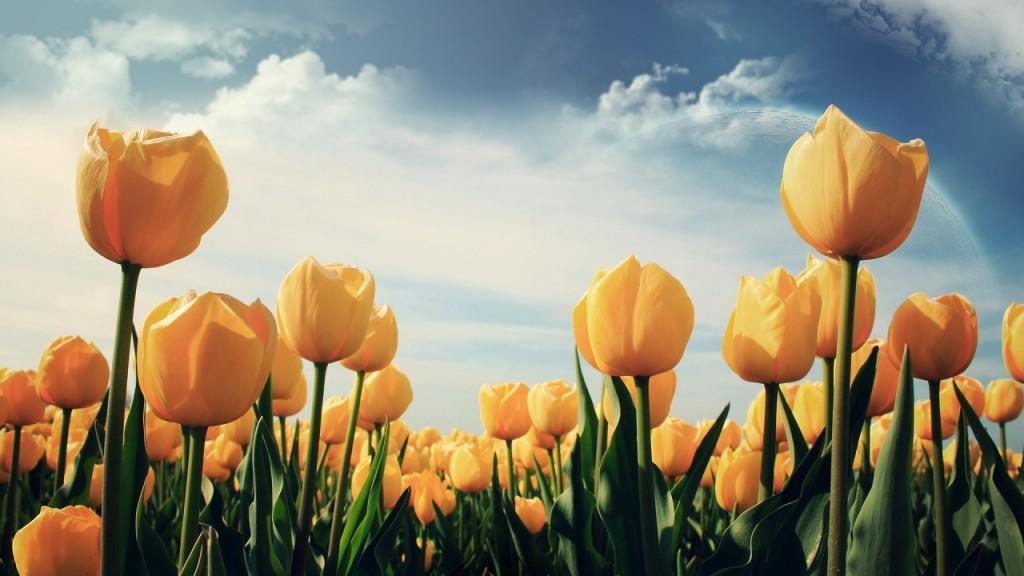 hình nền hoa hồng vàng 3d
