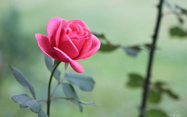 hình nền hoa hồng trắng đẹp nhất