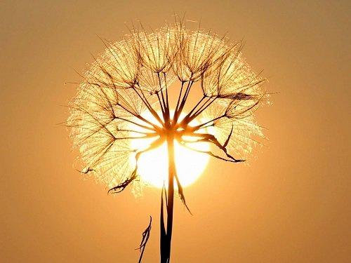 hoa bồ công anh vàng