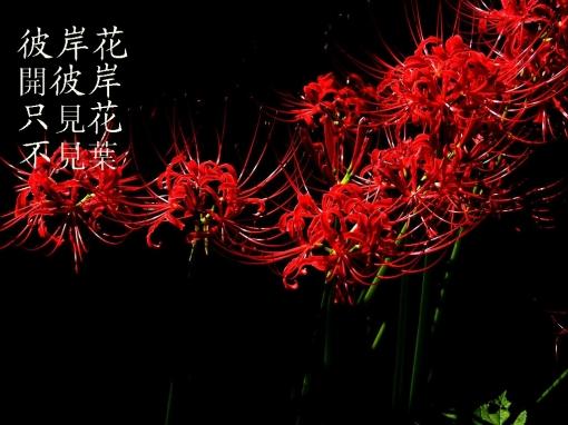 hình hoa bỉ ngạn