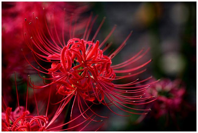mạn đà la hoa
