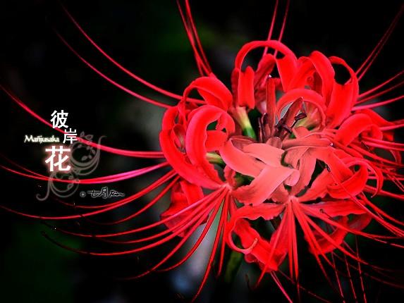 bỉ ngạn hoa art
