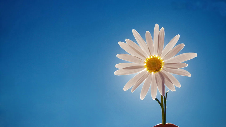 hinh ve hoa cuc