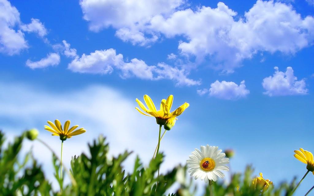 hình nền hoa cúc